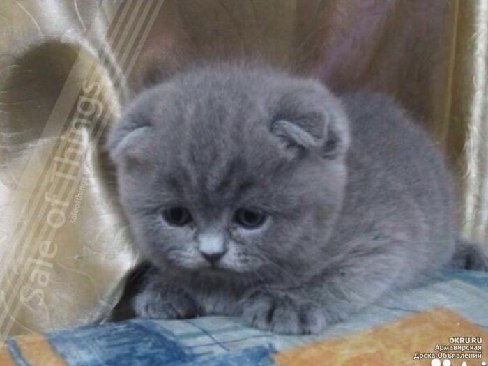 Красивейшие шотландские котята! Только реальные котята и ...