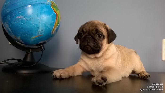 Доберман описание породы характер собаки цена щенков фото