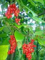продаю сельхоз растения