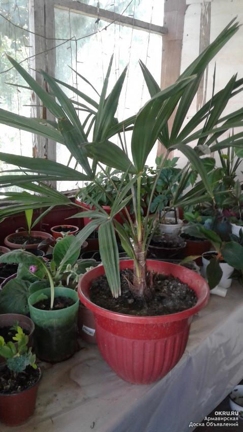 Цветы комнатные растения семена и саженцы в Новосибирске